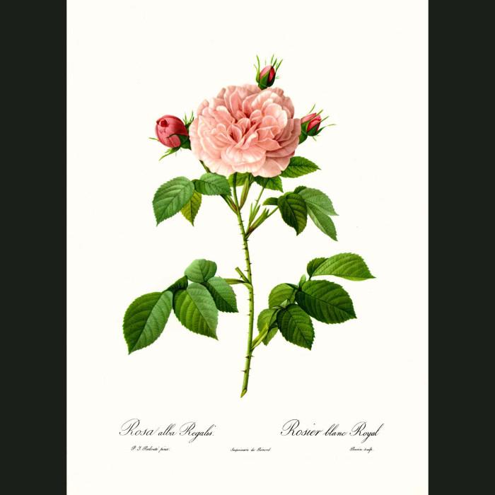 Fine art print for sale. Rose. Rosa Alba Regalis