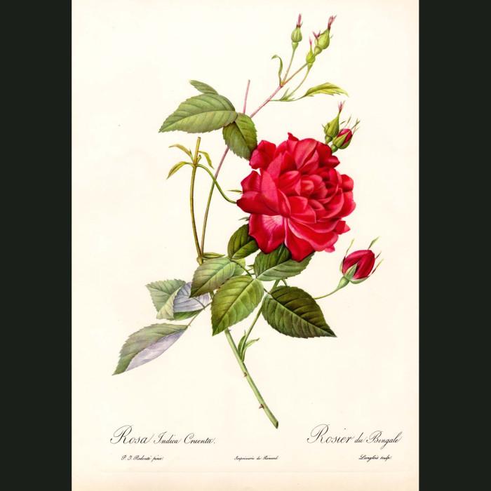 Fine art print for sale. Rose. Rosa Indica Cruenta