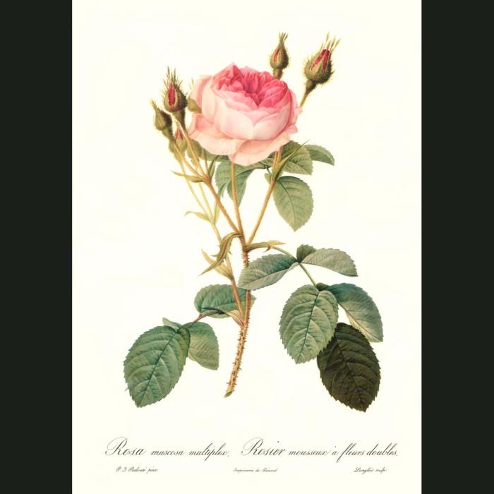 Fine art print for sale. Rose. Rosa Muscosa Multiplex