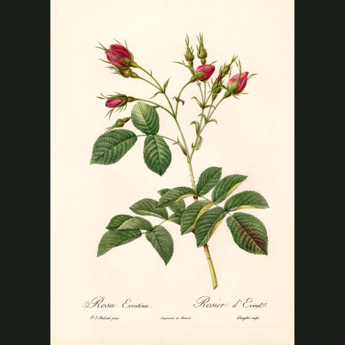 Fine art print for sale. Rose. Rosa Evratina