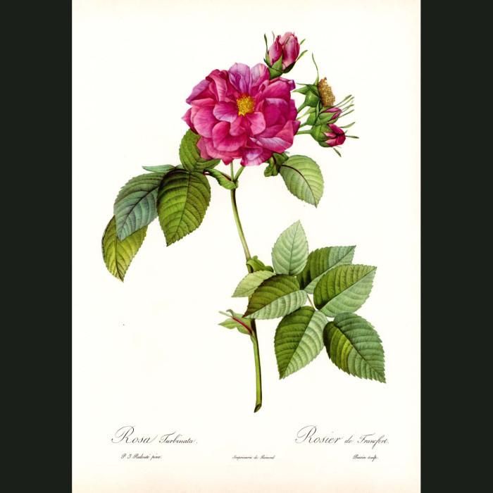 Fine art print for sale. Rose. Rosa Turbinata