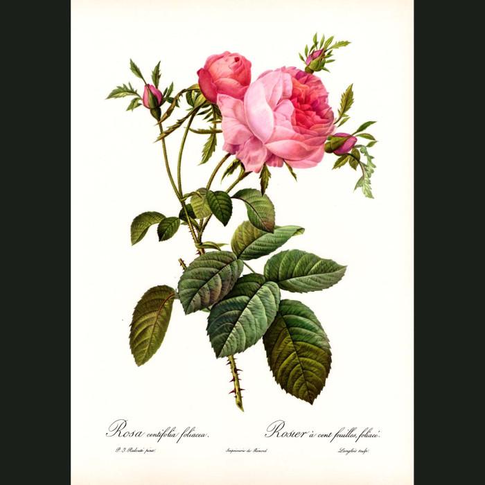 Fine art print for sale. Rose. Rosa Centifolia Foliacea