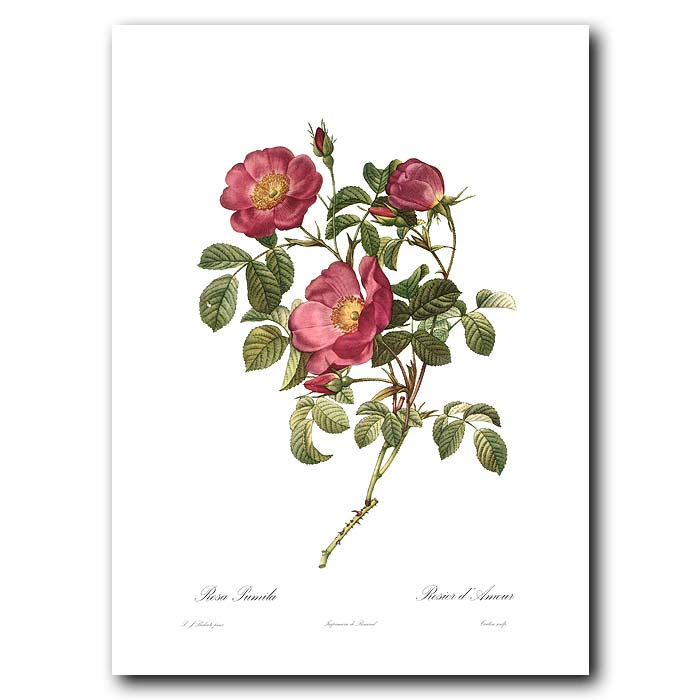 Fine art print for sale. Rose. Rosa Rosa Pumila