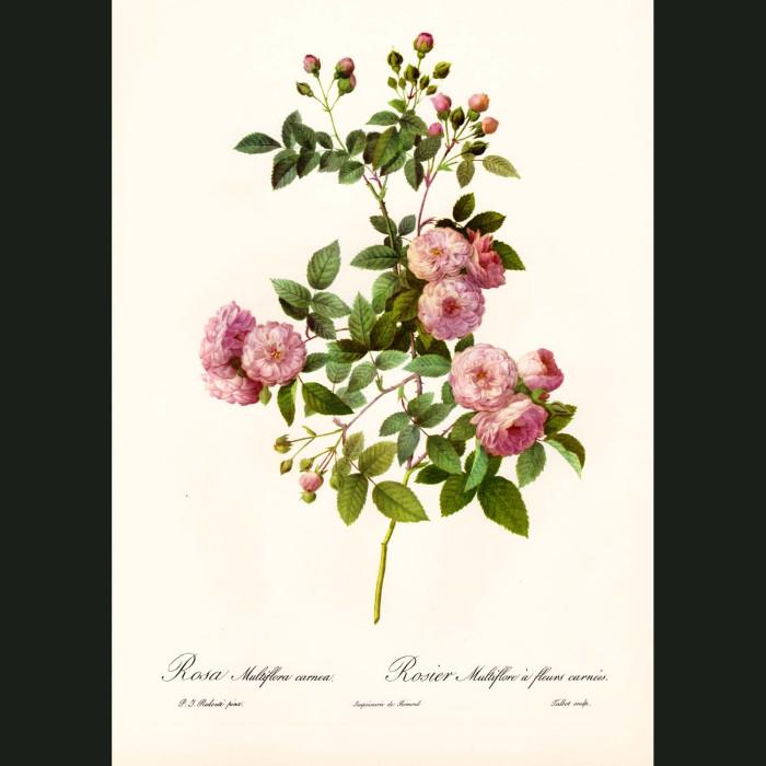 Fine art print for sale. Rose. Rosa Multiflora Carnea
