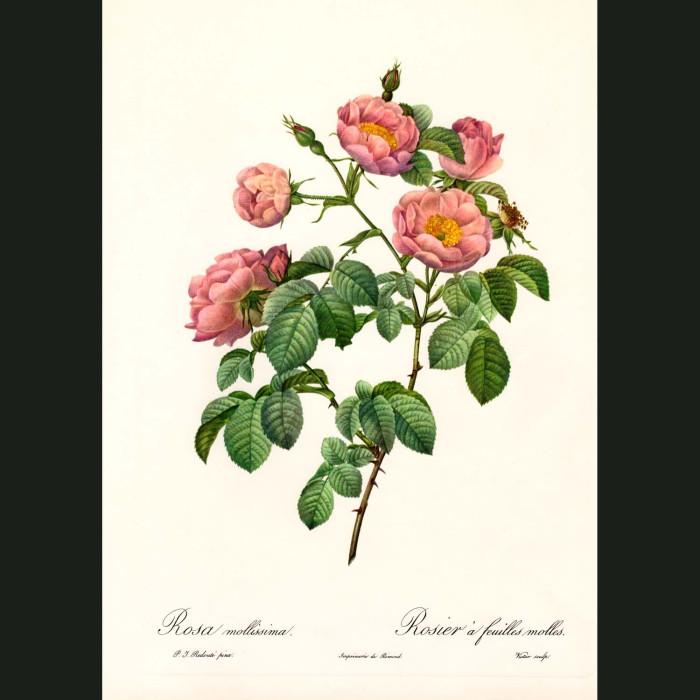 Fine art print for sale. Rose. Rosa Mollissima