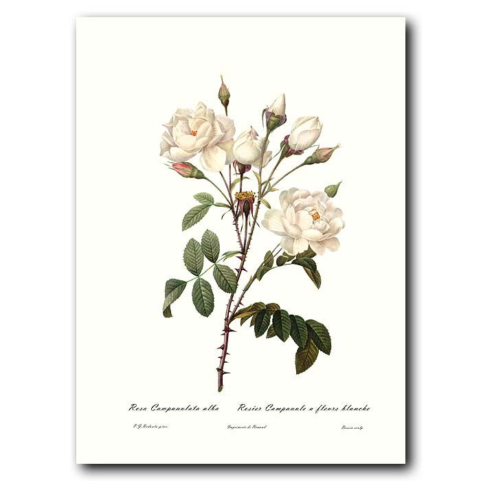Fine art print for sale. Rose. Rosa Campanulata