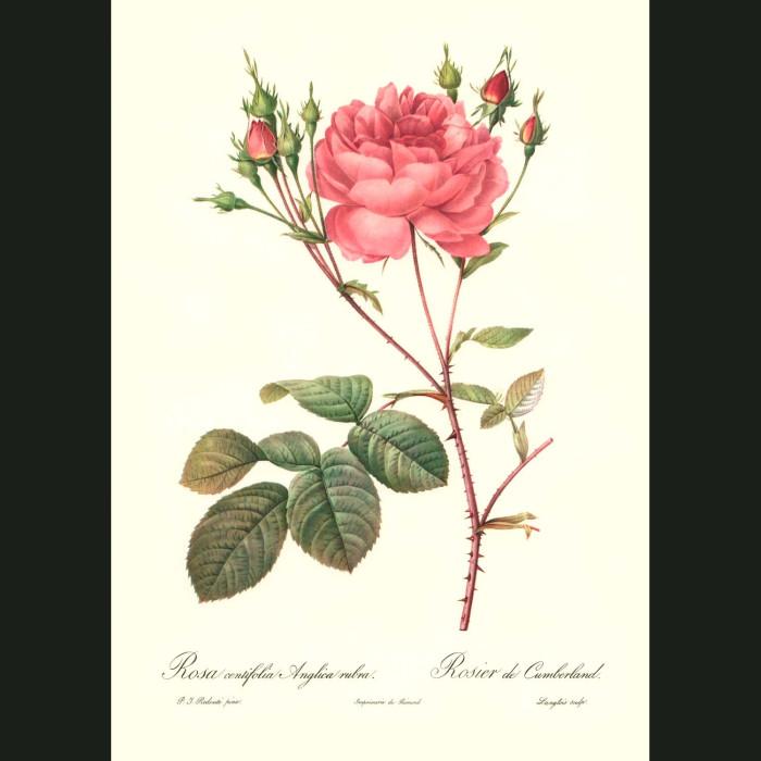 Fine art print for sale. Rose. Rosa Centifolia Anglica