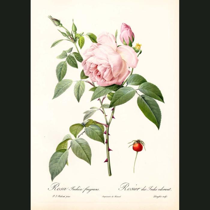 Fine art print for sale. Rose. Rosa Indica Fragrans