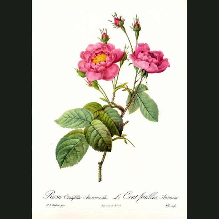 Fine art print for sale. Rose. Rosa Centifolia Anemonoide