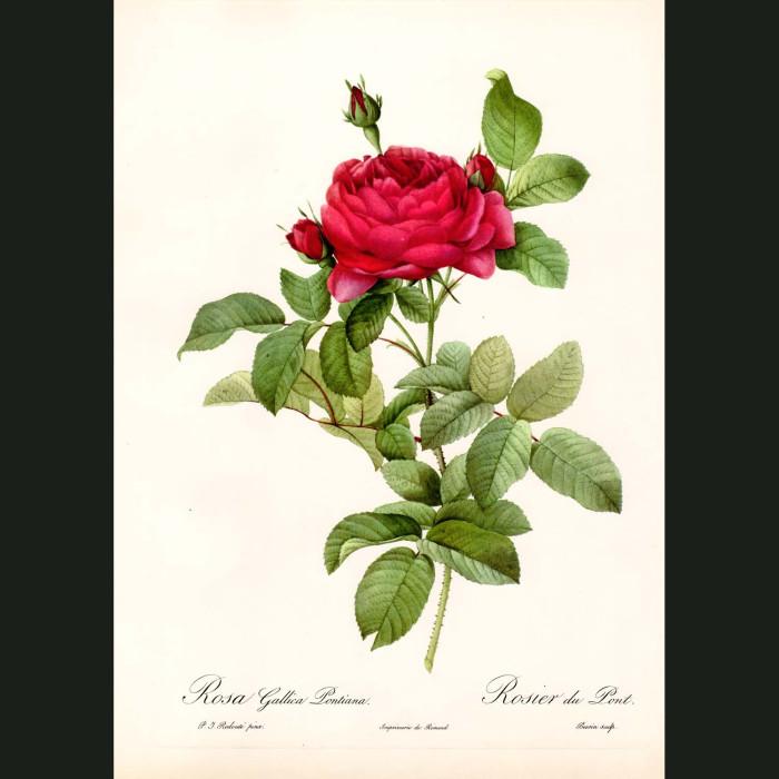 Fine art print for sale. Rose. Rosa Gallica Pontiana