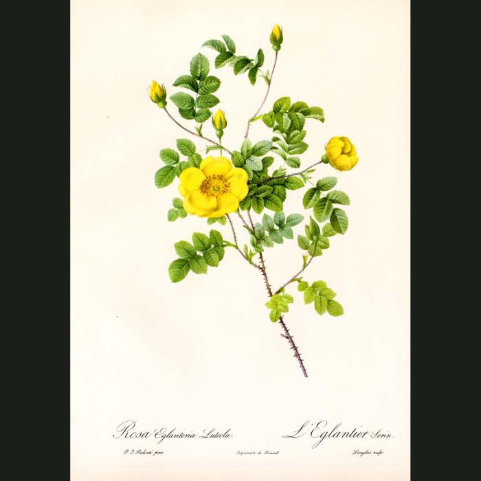 Fine art print for sale. Rose. Rosa Eglanteria Luteola