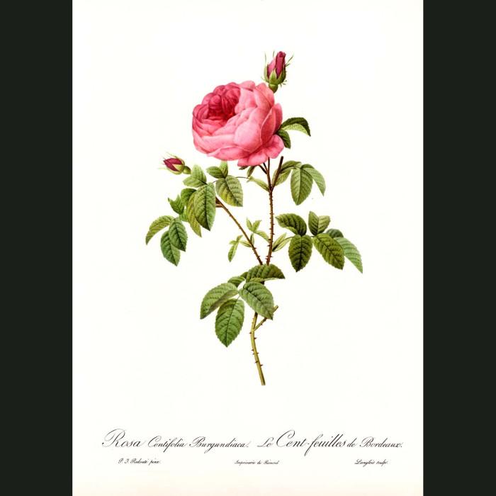 Fine art print for sale. Rose. Rosa Centifolia Burgundica