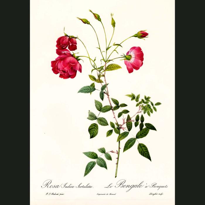Fine art print for sale. Rose. Rosa Indica Sertulata