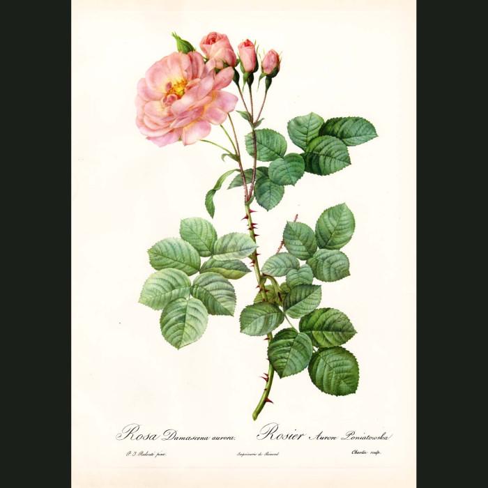 Fine art print for sale. Rose. Rosa Damascena Aurora