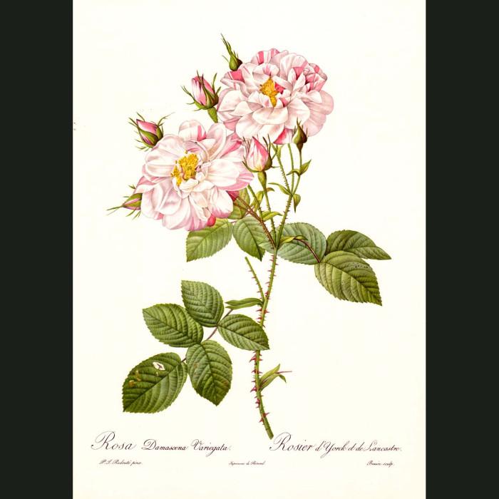 Fine art print for sale. Rose. Rosa Damascena Variegata