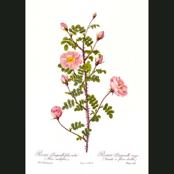 Fine art print for sale. Rose. Rosa Pimpinelli Folia Rubra