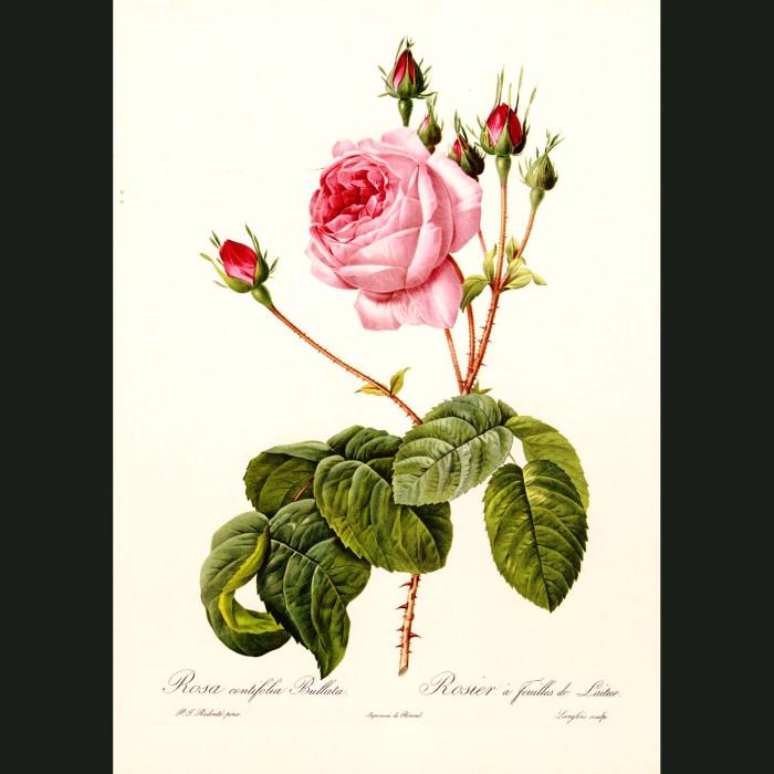 Fine art print for sale. Rose. Rosa Gallica Aurelianensis