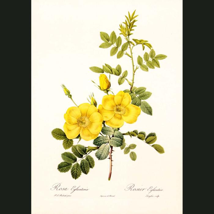 Fine art print for sale. Rose. Rosa Eglanteria