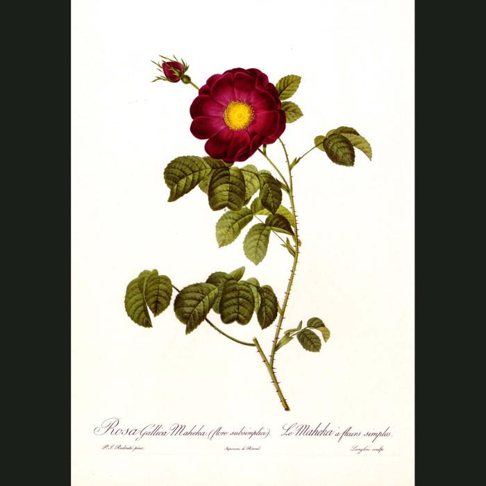 Fine art print for sale. Rose. Rosa Gallica Maheka
