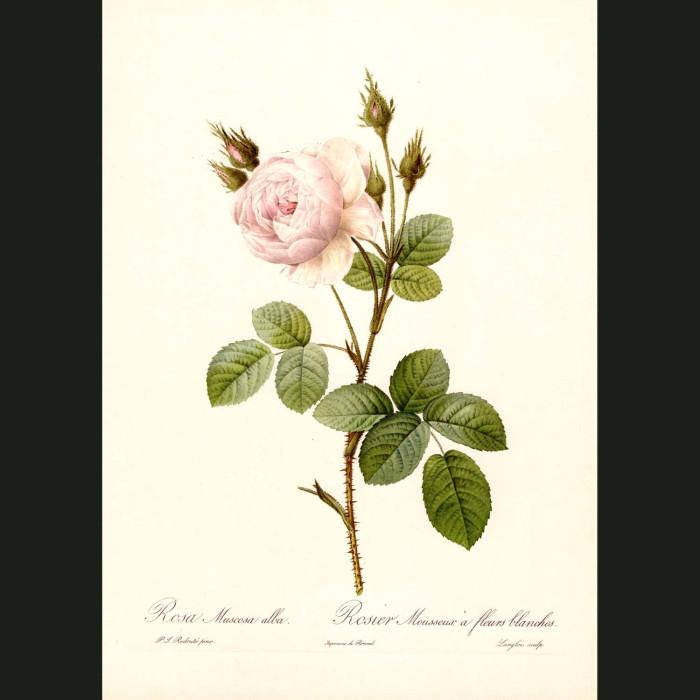Fine art print for sale. Rose. Rosa Muscosa Alba