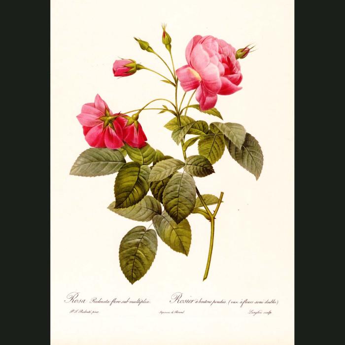 Fine art print for sale. Rose. Rosa Redinata Flore
