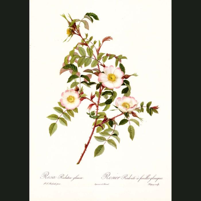 Fine art print for sale. Rose. Rosa Redutea Glauca