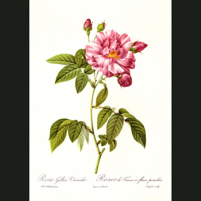 Fine art print for sale. Rose. Rosa Gallica Versicolor