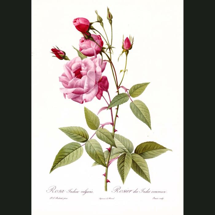 Fine art print for sale. Rose. Rosa Indica Vulgaris