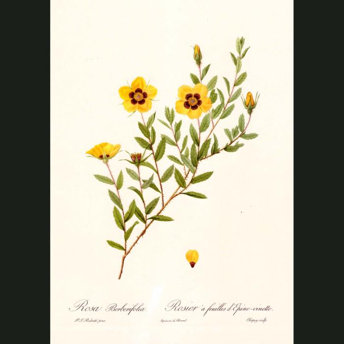 Fine art print for sale. Rose. Rosa Berberifolia