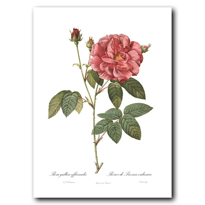 Fine art print for sale. Rose. Rosa Gallica Officinalis
