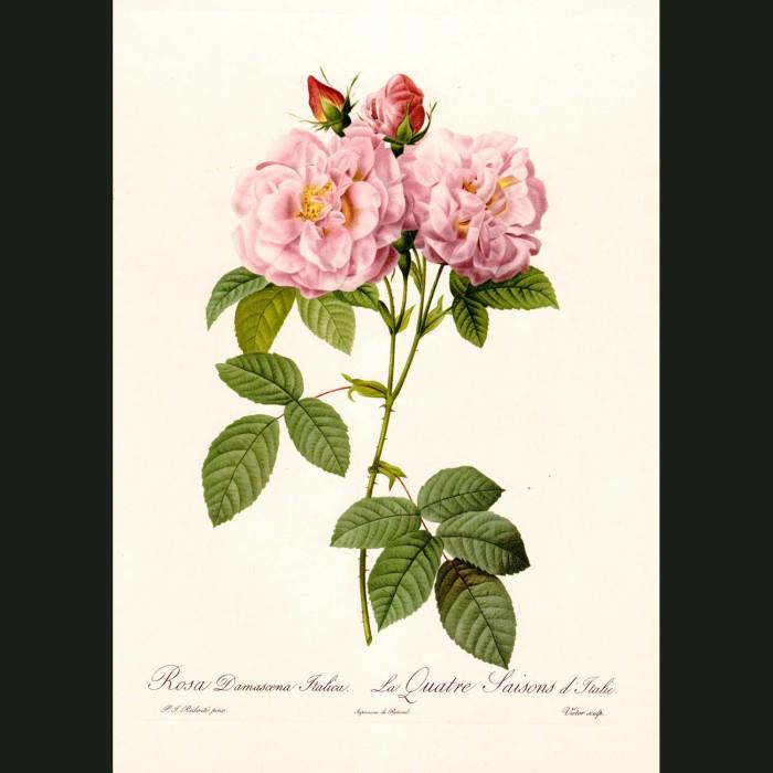 Fine art print for sale. Rose. Rosa Damascena Italica