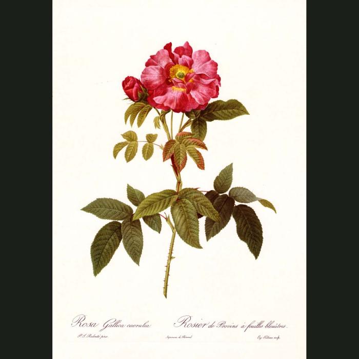 Fine art print for sale. Rose. Rosa Gallica Caerulea