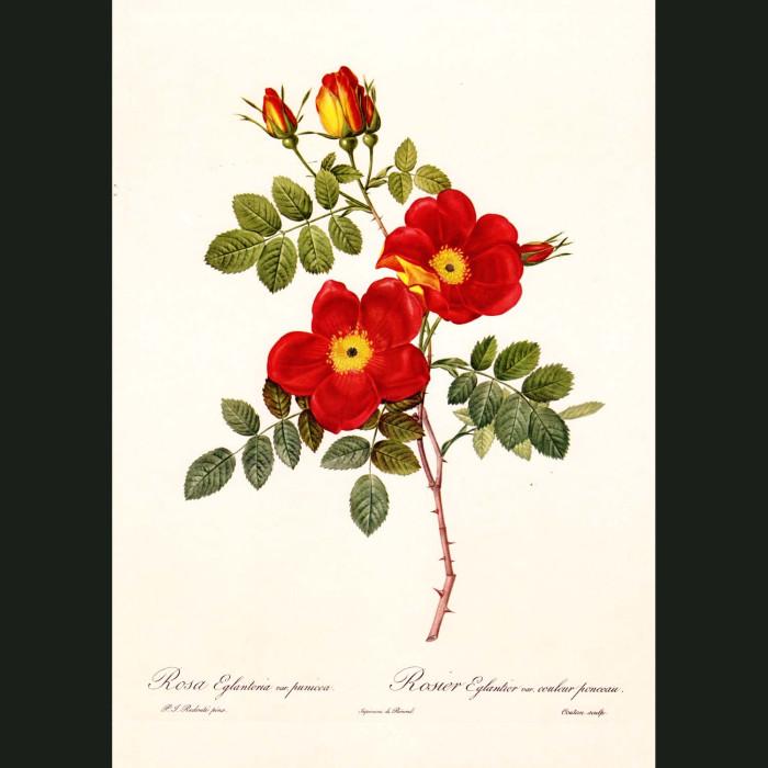 Fine art print for sale. Rose. Rosa Eglanteria Punicea