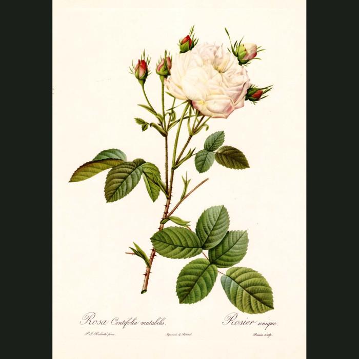 Fine art print for sale. Rose. Rosa Centifolia Mutab.