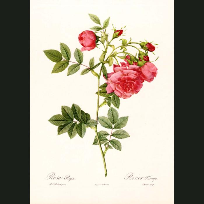 Fine art print for sale. Rose. Rosa Rapa