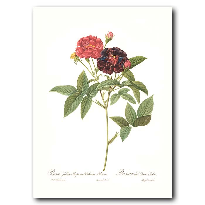 Fine art print for sale. Rose. Rosa Gallica Purpurea