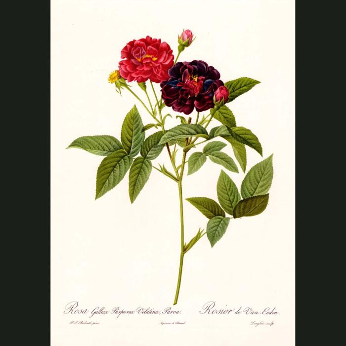 Fine art print for sale. Rose. Rosa Gallica Rosea