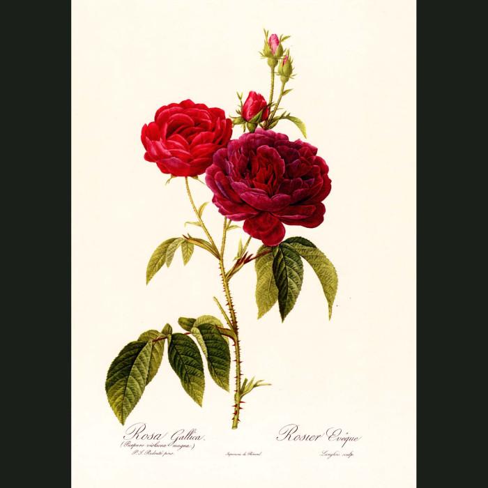 Fine art print for sale. Rose. Rosa Gallica