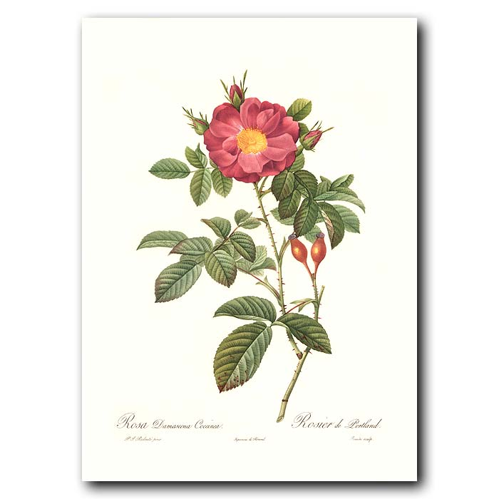 Fine art print for sale. Rose. Rosa Bifera Officinalis