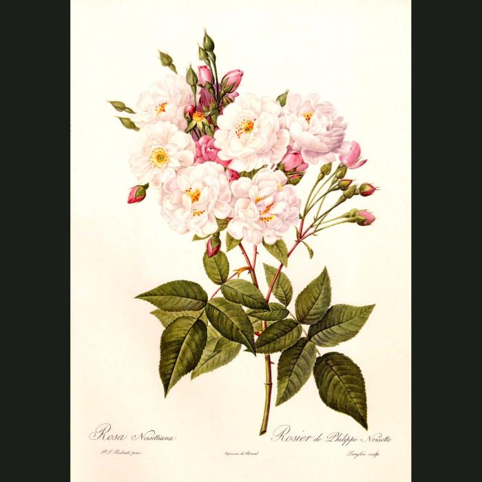 Fine art print for sale. Rose. Rosa Noisettiana