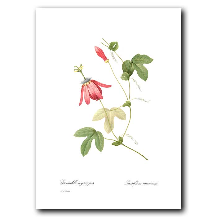 Fine art print for sale. Passion Flower