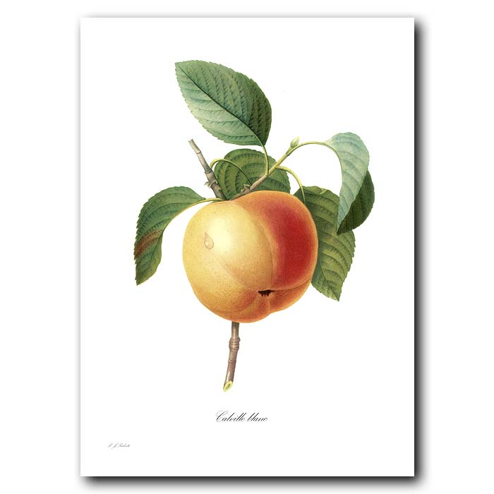 Fine art print for sale. Calville Blanc Apple