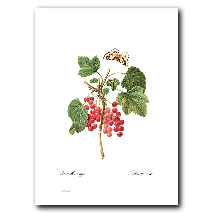 Fine art print for sale. Redcurrant
