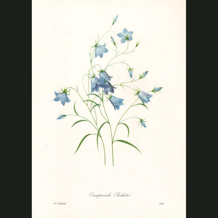 Fine art print for sale. Bluebell Flowers
