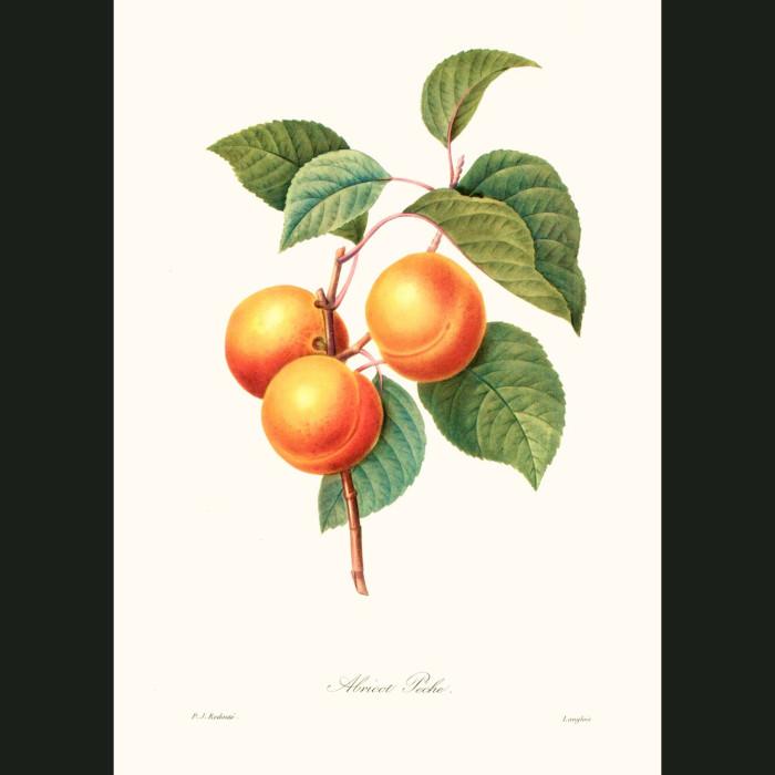Fine art print for sale. Apricot Peche