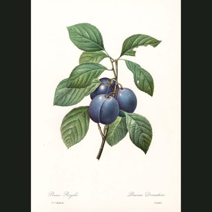 Fine art print for sale. Garden Plum