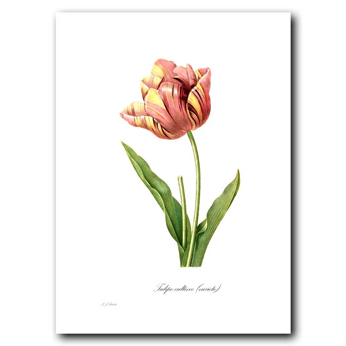 Fine art print for sale. Tulip