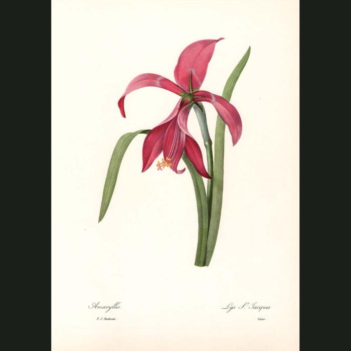 Fine art print for sale. Amaryllis