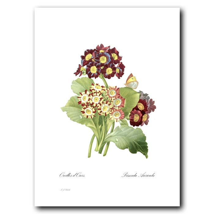 Fine art print for sale. Primula