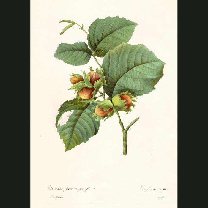Fine art print for sale. Hazelnut